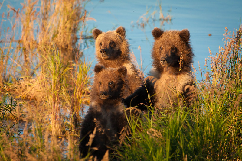 Grizzly cubs of the year, Katmai National Park
