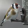 Stillits / European Goldfinch <br /> Linneslia, Lier 9.4.2005<br /> Canon EOS 20D + EF 200 mm 2,8 L + Extender 1,4 x