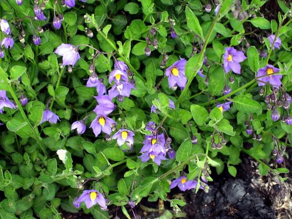 3/14/08 Chaparral Nightshide (Solanum xanti). Tenaja Trail (@trailhead), Cleveland National Forest, Riverside County, CA