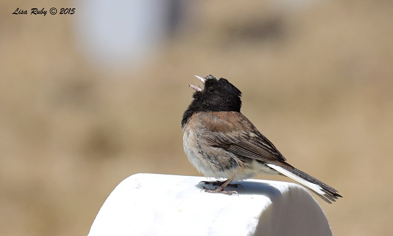 Dark-eyed Junco with some odd looking facial feathers - 5/10/2015 - Fort Rosecrans National Cemetery