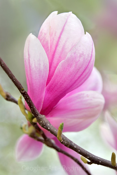 A close up portrait of a pink saucer magnolia blossom from a neighborhood tree as it begins to open.