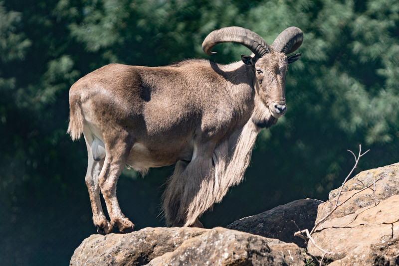 Barbary Sheep.jpg