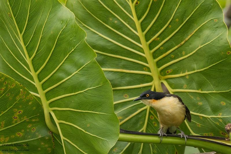 Black-capped Donacobius - Amazon, Ecuador