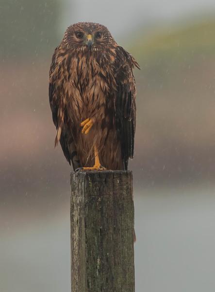 Rainy Day Harrier