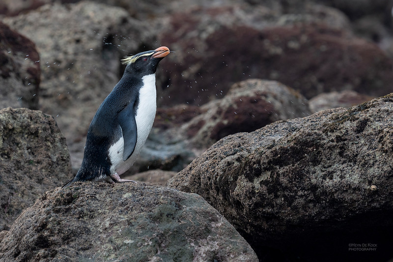 Fiordland Crested Penguin, Haast, SI, NZ, Aug 2018-5.jpg