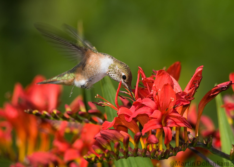 Rufous Hummingbird, juvenile male, at the Crocosmia