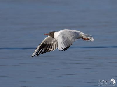 Black Headed Gull in Flight