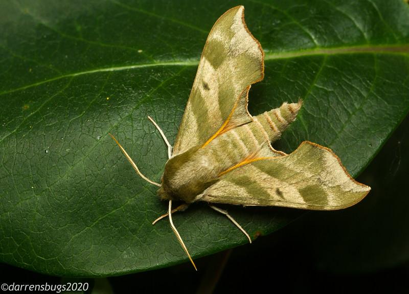 Virginia Creeper Sphinx Moth, Darapsa myron.