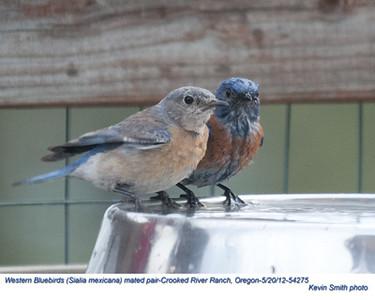 WesternBluebirdsP54275.jpg