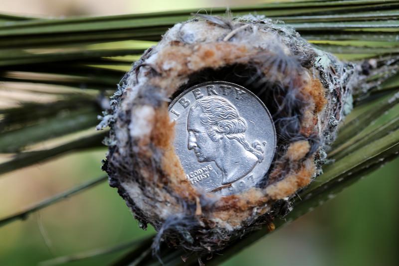 Nest the size of a quarter.