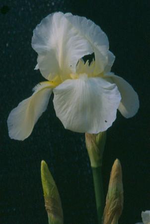 Iris germanica 'Cliffs of Dover'.jpg