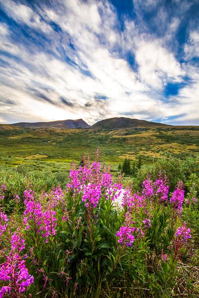 Wildflowers on Guanella Pass