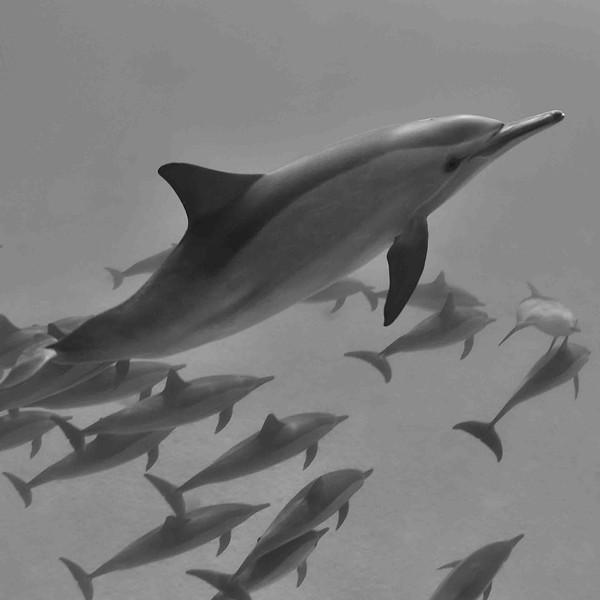 Dauphin à long bec 8 Stenella longirostris-Egypte_mer Rouge.JPG