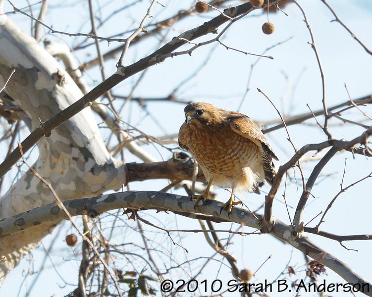 Red-shouldered hawk, preparing  Pohick Bay Regional Park Fairfax County, Virginia December 2010