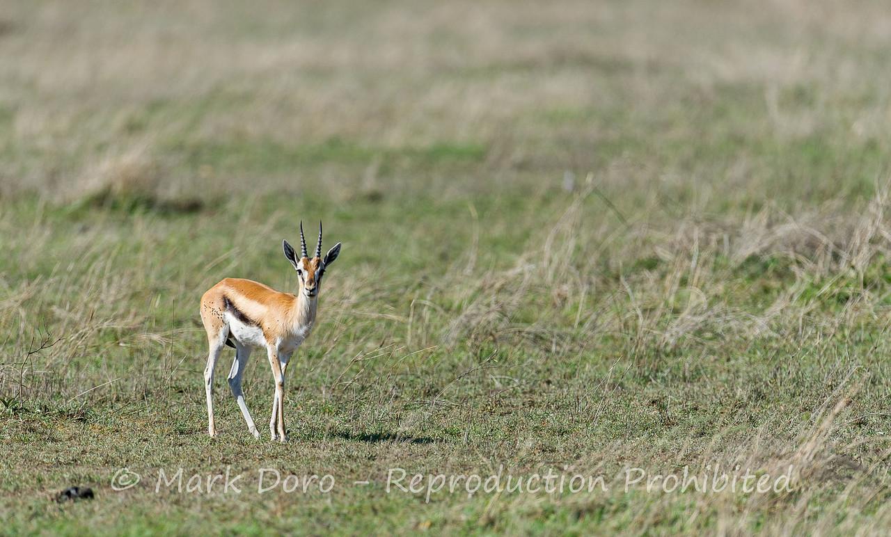 Thomson's Gazelle, Serengeti, Tanzania