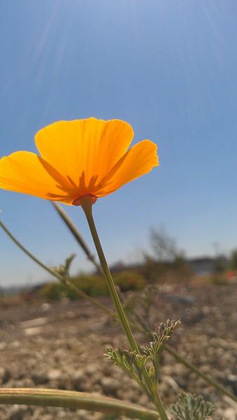 California Poppy(WEV)