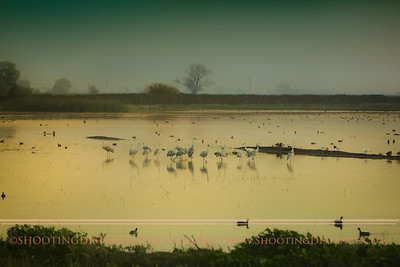 Sandhill Cranes Roosting in a flooded field at sunset