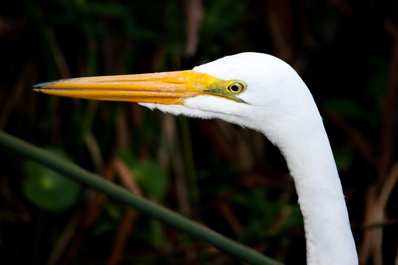 egret eye