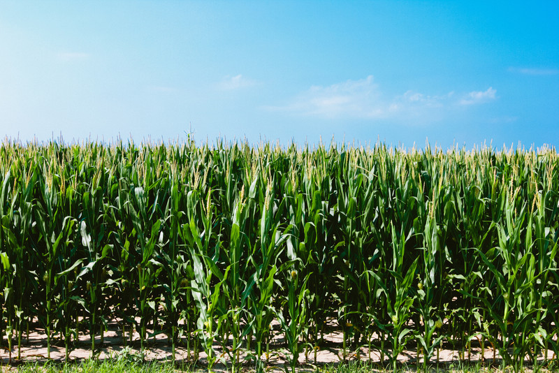 Arkansas Corn