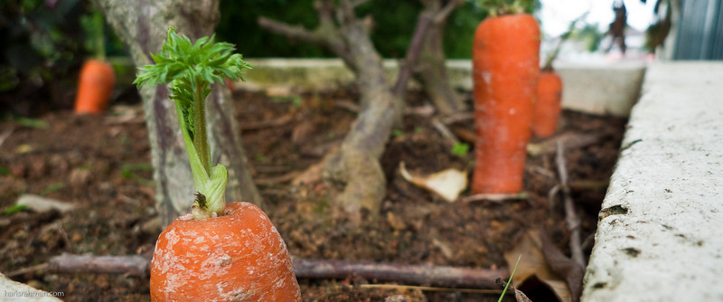 My maid, Marni planted these carrots at the garden