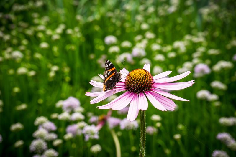 butterflyonechinacea.jpg