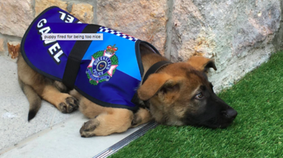 pup-too-sweet-for-police-k9-job-forced-to-take-on-new-role