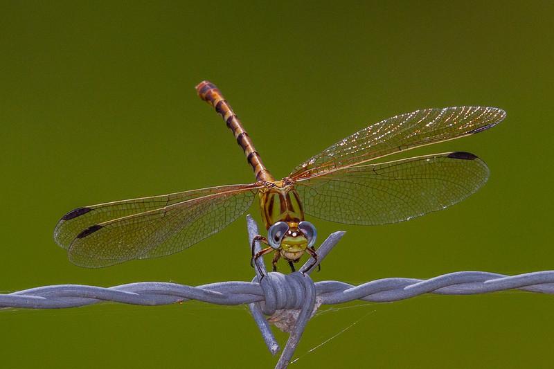 Eastern Ringtail -  Erpetogomphus designatus