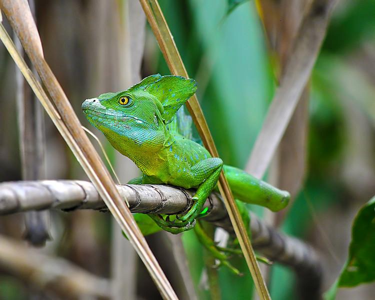 EmeraldBasilisk.jpg