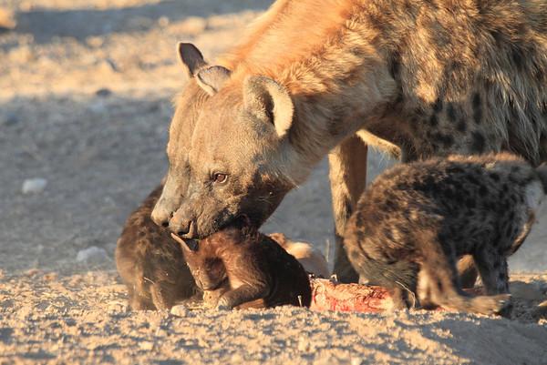 Hyena Pups Mashatu Botswana 2013
