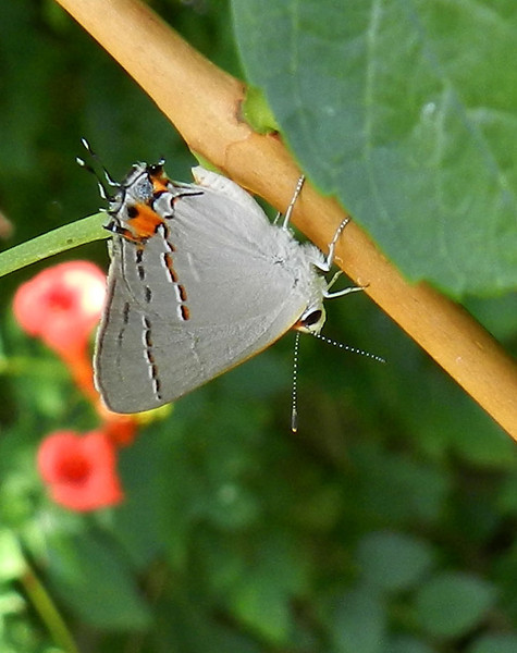 Gray Hairstreak on leaves best3.jpg