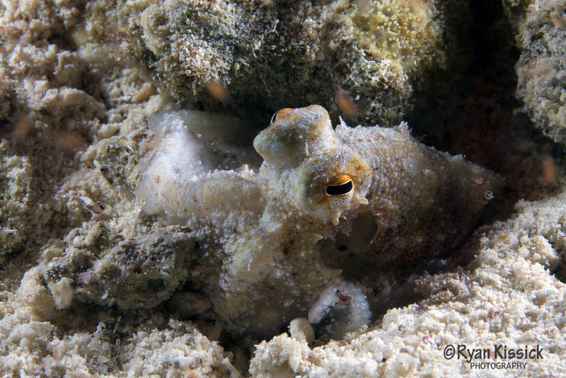 A small octopus sitting on the sandy ocean bottom at night
