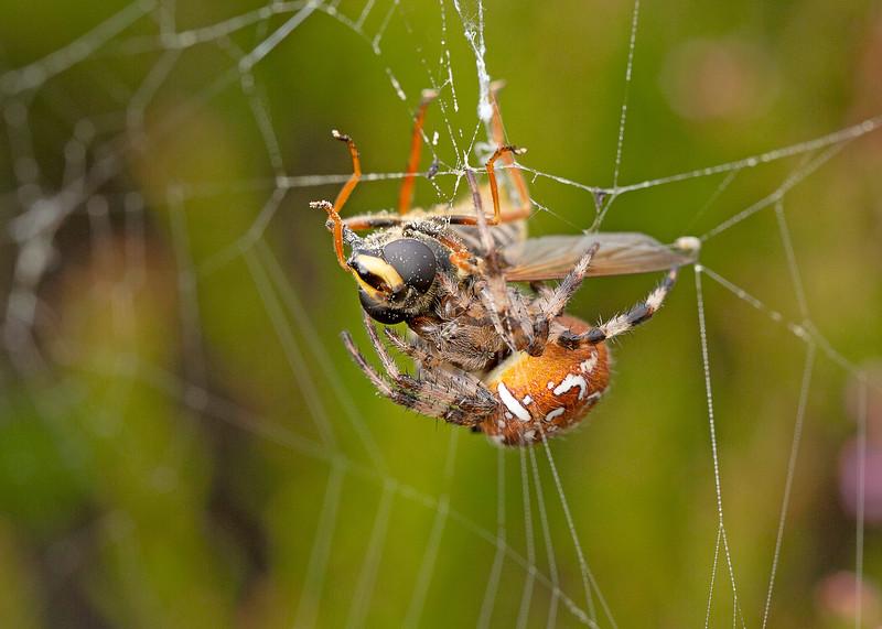 Four Spot Orb Weaver Spider and Prey (Bog Hover fly)