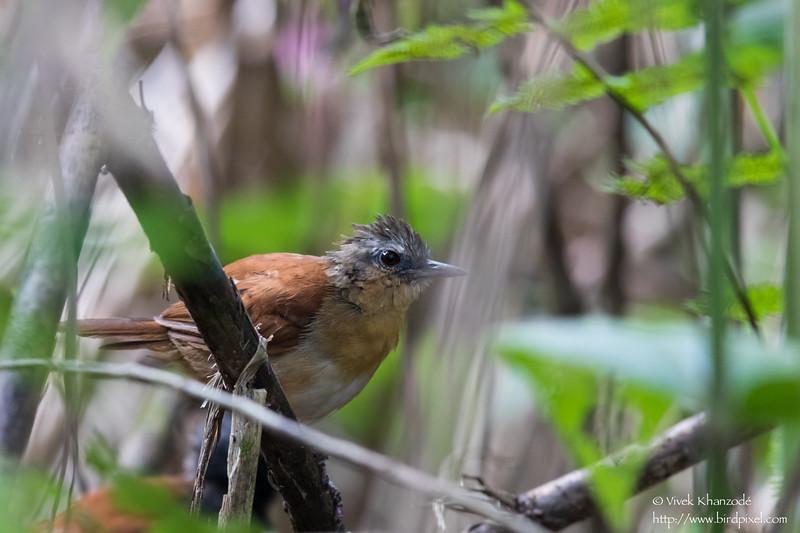 White-bellied Antbird - Female - Record - Gamboa Rainforest Resort, Gamboa, PA