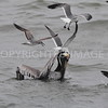 Laughing Gull sits on Brown Pelican's head to reach for Menhaden.  04.12.2015 Brazoria County, Texas