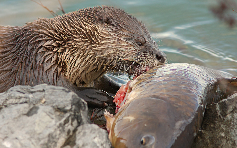River Otter with catch (Las Gallinas)