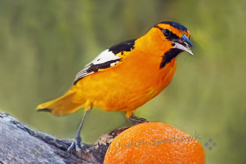 Bullock's Oriole ~ This beautiful bird was photographed at Barr Lake, Colorado.