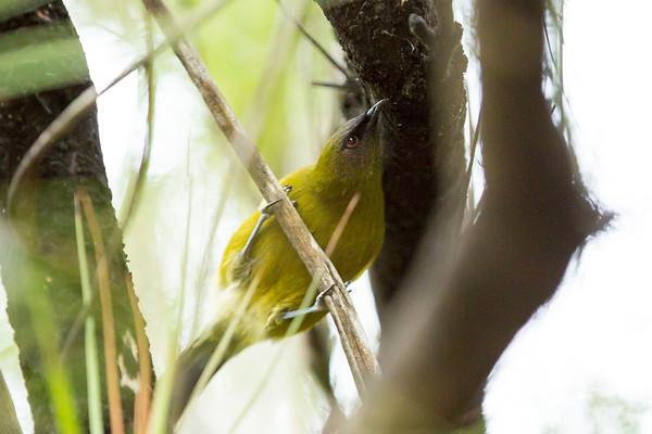 20170406 Bell bird on Ulva Island,  Stewart Island _JM_4115 a.jpg