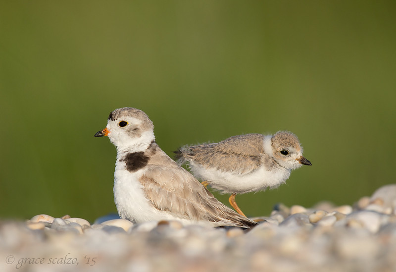 Piping Plover Mother and Offspring