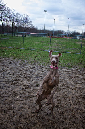 Grayce the Flying Weim