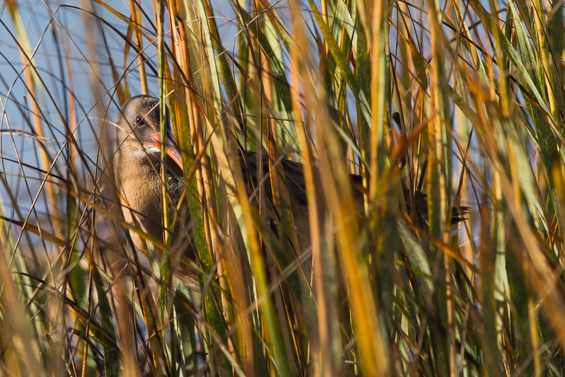 Vitginia Rail in camouflage - Miller Knox Regional Shoreline, Richmond, CA, USA