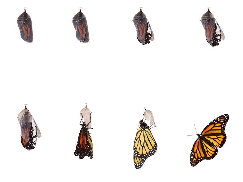 Monarch emerging from chrysalis.jpg
