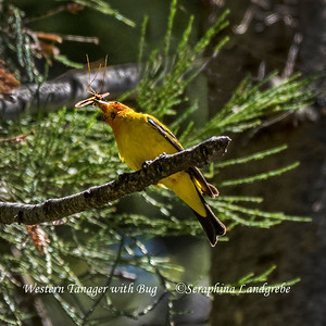 Tanagers & Cardinals