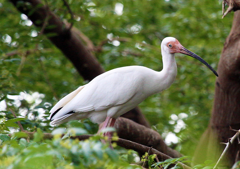 A white Ibis in a tree.