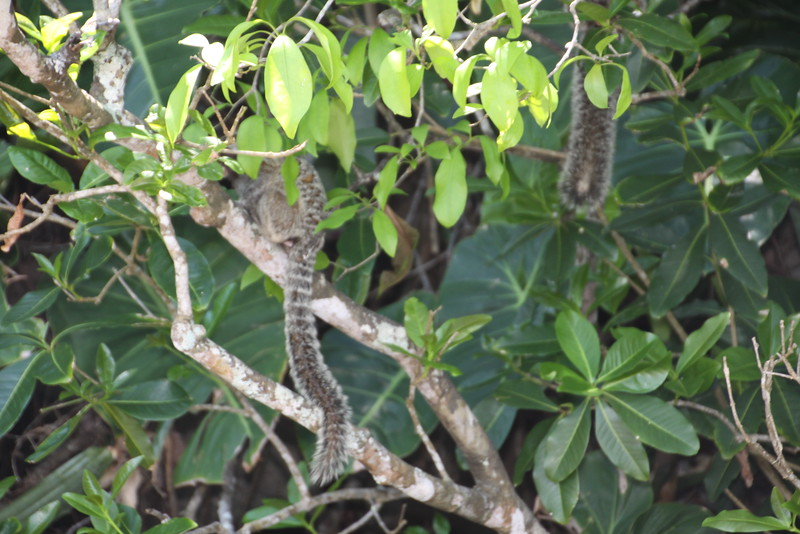 Marmoset monkey in tree