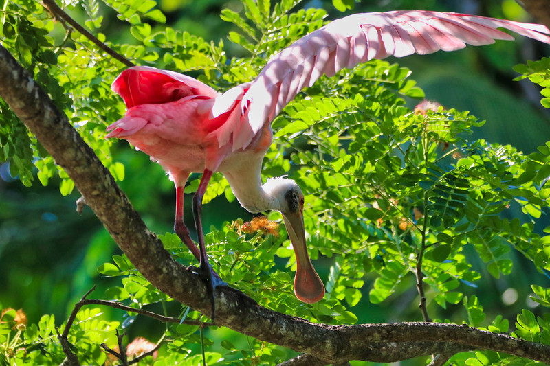 Roseate spoonbill bird on branch