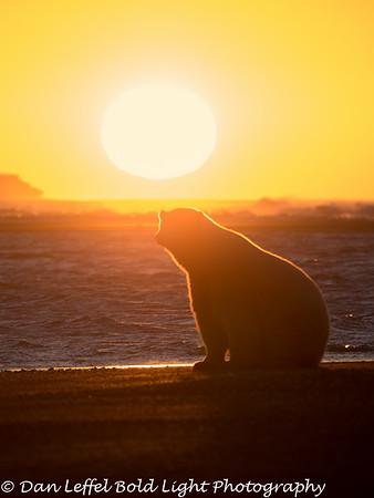 Alaska - Polar Bears