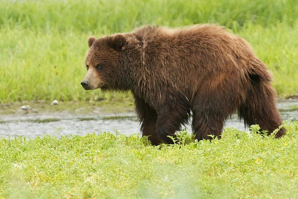 Grizzlies - Pack Creek, Alaska