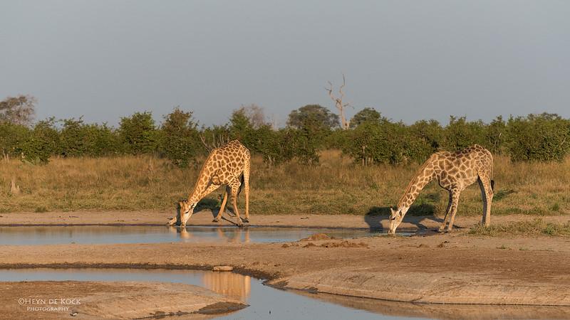 Southern Giraffe, Savuti, Chobe NP, Botswana, May 2017-6.jpg