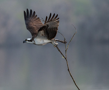 190222 - Ospreys at Blue Cyprus Lake