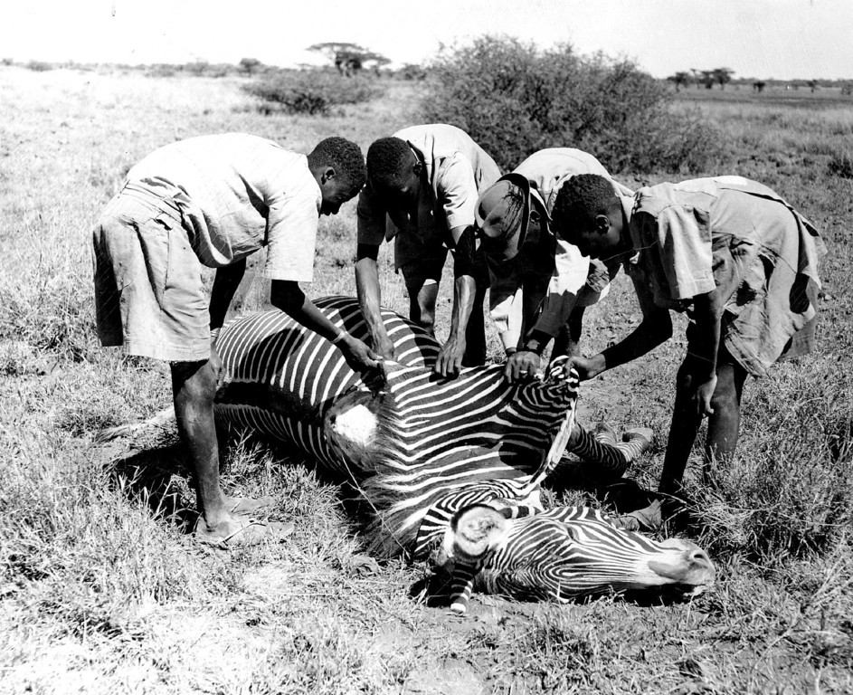 . MAR 2 1950, MAR 3 1950  A. Grevy\'s zebra narrow-striped is skinned out by four native skinners after a single shot from a Winchester .30-06 dropped it at 200 paces.  Credit: Denver Post